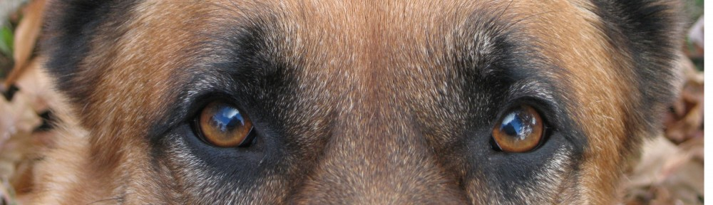Framheim Shepherds –  Blog