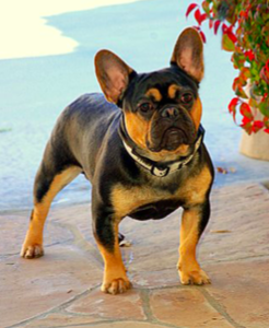 Black-and-tan-french-bulldog-Major