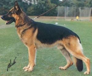 VA1 Dingo vom Haus Gero