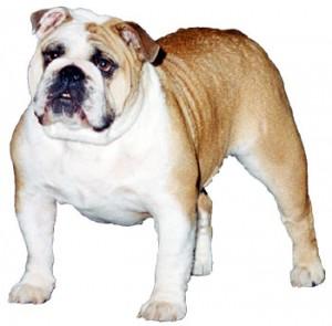 lg_bulldog3
